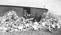 Photograph of a large pile of buffalo bones in front of a boxcar
